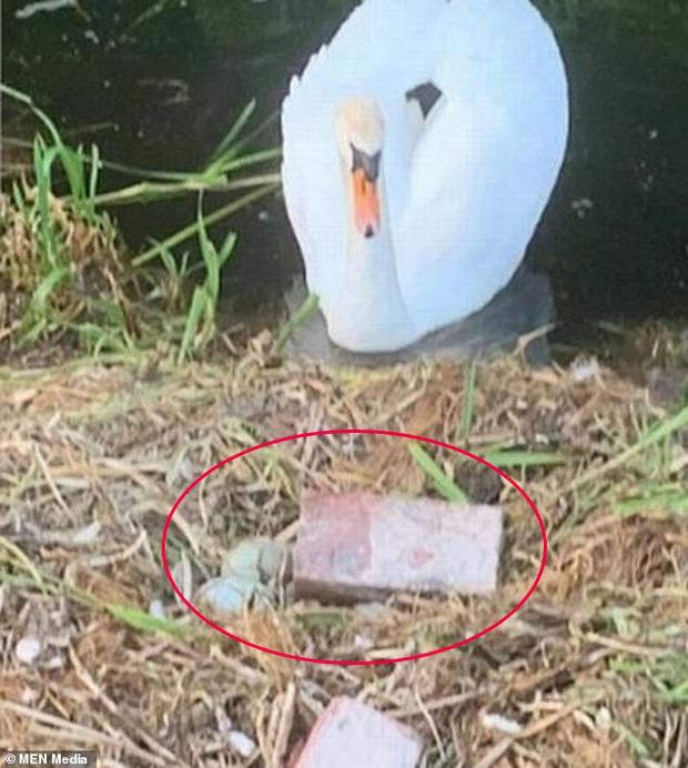 Tổ trứng bị nhóm thiếu nhiên ném vỡ nát, chim thiên nga mẹ gục chết ngay bên cạnh vì quá đau lòng - Ảnh 1.