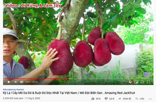 """Thực hư về quả mít vỏ đỏ """"độc nhất vô nhị"""" tại Việt Nam đang khiến cộng đồng mạng tranh cãi: Lẽ nào lại là chiêu trò """"câu view""""? - Ảnh 1."""