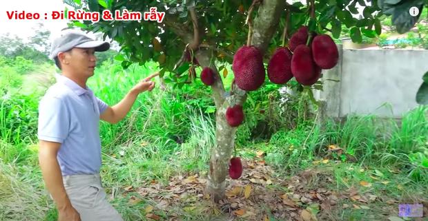 """Thực hư về quả mít vỏ đỏ """"độc nhất vô nhị"""" tại Việt Nam đang khiến cộng đồng mạng tranh cãi: Lẽ nào lại là chiêu trò """"câu view""""? - Ảnh 3."""