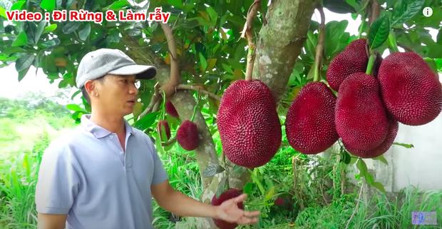 """Thực hư về quả mít vỏ đỏ """"độc nhất vô nhị"""" tại Việt Nam đang khiến cộng đồng mạng tranh cãi: Lẽ nào lại là chiêu trò """"câu view""""? - Ảnh 5."""
