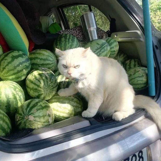 Ông mèo trông quầy dưa hấu bất ngờ nổi tiếng vì biểu cảm nhăn nhó khó chịu - Ảnh 2.