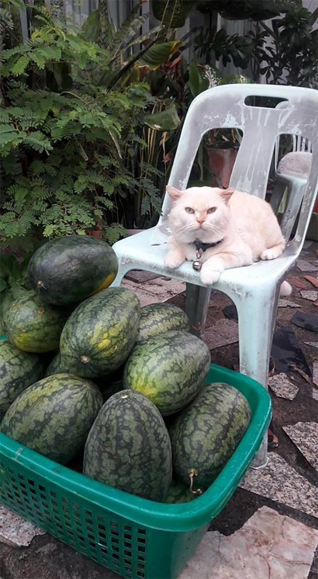 Ông mèo trông quầy dưa hấu bất ngờ nổi tiếng vì biểu cảm nhăn nhó khó chịu - Ảnh 3.