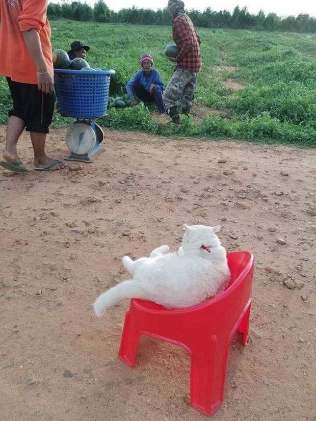 Ông mèo trông quầy dưa hấu bất ngờ nổi tiếng vì biểu cảm nhăn nhó khó chịu - Ảnh 5.