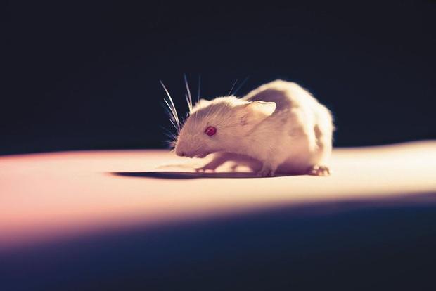 OncoMouse - Con chuột bị cấy gen ung thư một thời làm xáo trộn cả giới nghiên cứu khoa học, khiến ĐH Harvard phải mang tiếng xấu đến tận hôm nay - Ảnh 1.
