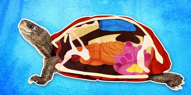 Đây là những gì có bên trong chiếc mai của một con rùa, và đảm bảo chúng sẽ khiến bạn há mồm kinh ngạc - Ảnh 2.