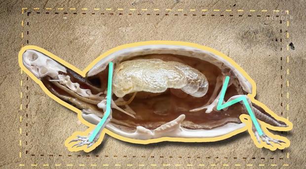 Đây là những gì có bên trong chiếc mai của một con rùa, và đảm bảo chúng sẽ khiến bạn há mồm kinh ngạc - Ảnh 3.