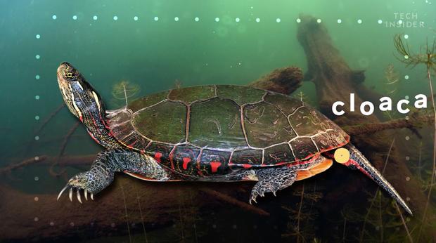 Đây là những gì có bên trong chiếc mai của một con rùa, và đảm bảo chúng sẽ khiến bạn há mồm kinh ngạc - Ảnh 4.
