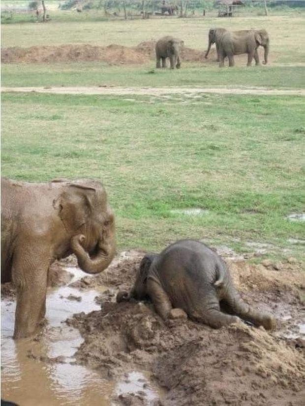 Voi uống nước bằng vòi thì ai cũng biết nhưng cách các bé voi sấp mặt thực hiện thao tác này sẽ khiến bạn phì cười - Ảnh 1.