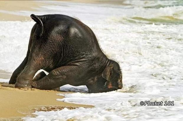 Voi uống nước bằng vòi thì ai cũng biết nhưng cách các bé voi sấp mặt thực hiện thao tác này sẽ khiến bạn phì cười - Ảnh 2.