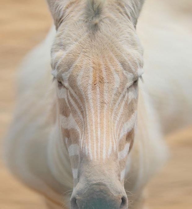 Chùm ảnh đẹp mê hồn về những chú động vật bị bệnh bạch tạng - Ảnh 2.