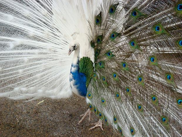 Chùm ảnh đẹp mê hồn về những chú động vật bị bệnh bạch tạng - Ảnh 3.