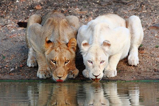 Chùm ảnh đẹp mê hồn về những chú động vật bị bệnh bạch tạng - Ảnh 6.