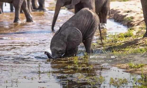 Voi uống nước bằng vòi thì ai cũng biết nhưng cách các bé voi sấp mặt thực hiện thao tác này sẽ khiến bạn phì cười - Ảnh 6.