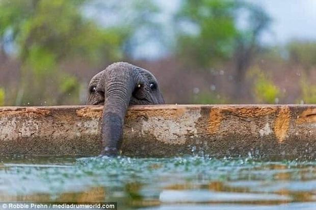 Voi uống nước bằng vòi thì ai cũng biết nhưng cách các bé voi sấp mặt thực hiện thao tác này sẽ khiến bạn phì cười - Ảnh 8.