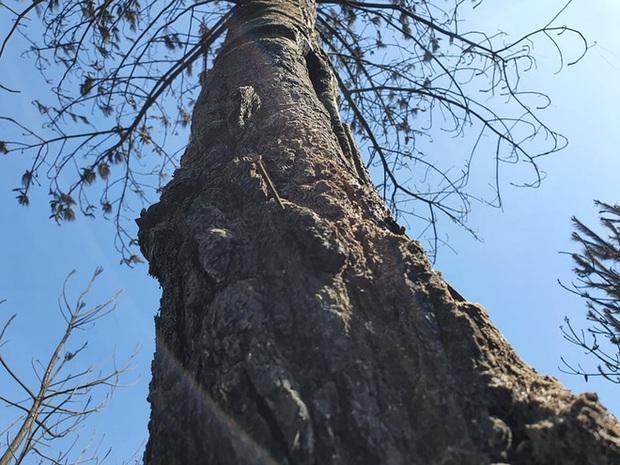 Cảnh hoang tàn ở cánh rừng thông già sau nhiều đợt cháy hoành hành những ngày qua - Ảnh 15.