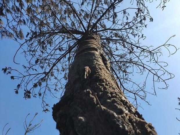 Cảnh hoang tàn ở cánh rừng thông già sau nhiều đợt cháy hoành hành những ngày qua - Ảnh 17.