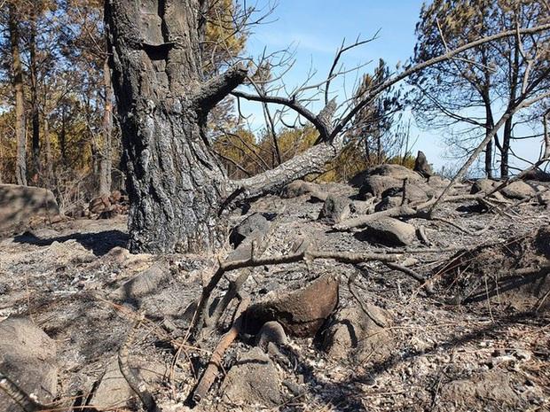 Cảnh hoang tàn ở cánh rừng thông già sau nhiều đợt cháy hoành hành những ngày qua - Ảnh 12.