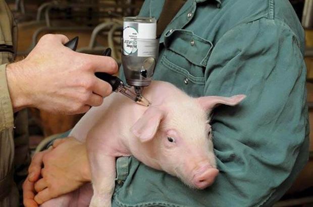 Phát hiện chủng cúm lợn mới ở Trung Quốc, có nguy cơ gây đại dịch - Ảnh 1.