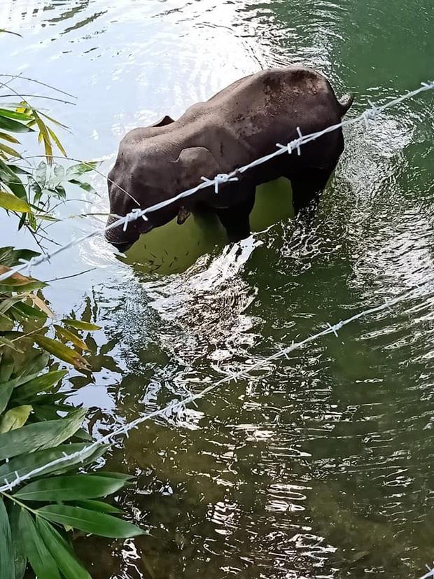 Ăn nhầm trái dứa bị dân làng nhét thuốc nổ bên trong, voi mẹ mang thai chết đứng tức tưởi dưới sông - Ảnh 2.
