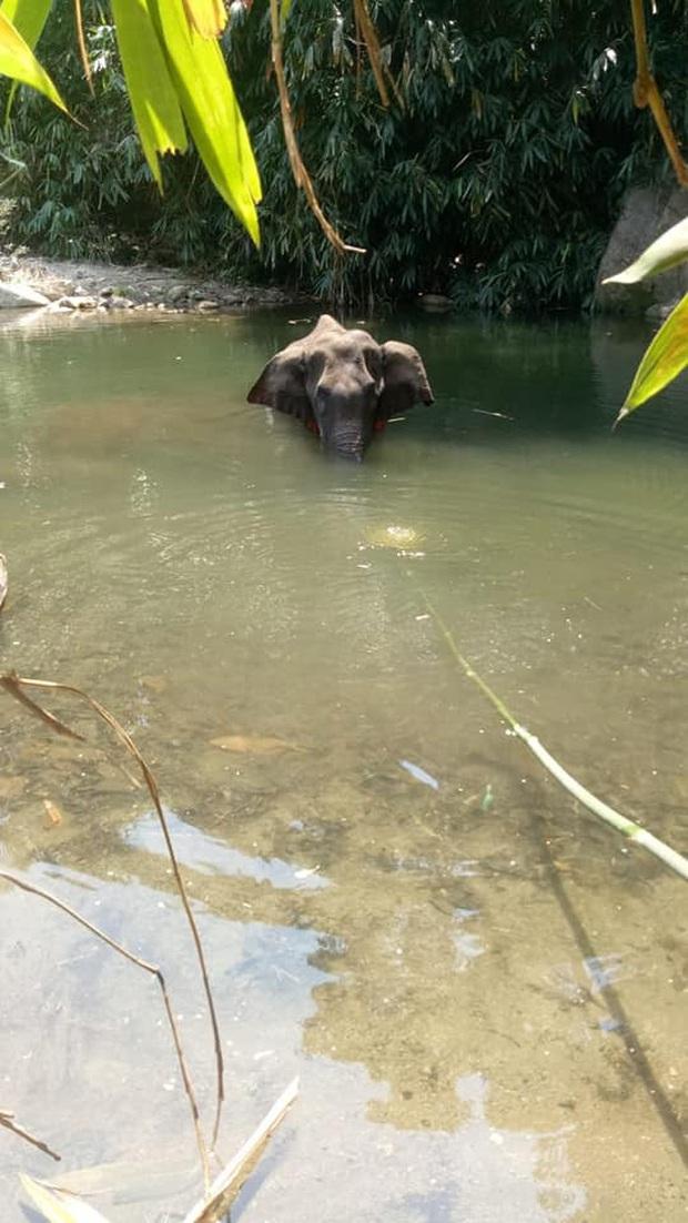 Ăn nhầm trái dứa bị dân làng nhét thuốc nổ bên trong, voi mẹ mang thai chết đứng tức tưởi dưới sông - Ảnh 3.