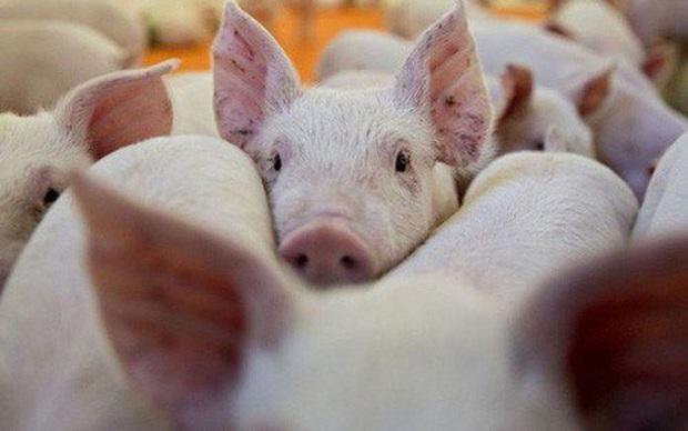 Hạ nhiệt sau nhiều ngày cố thủ: Thịt lợn giá rẻ sắp không chỉ còn có trên tivi - Ảnh 1.