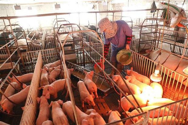 Hạ nhiệt sau nhiều ngày cố thủ: Thịt lợn giá rẻ sắp không chỉ còn có trên tivi - Ảnh 3.