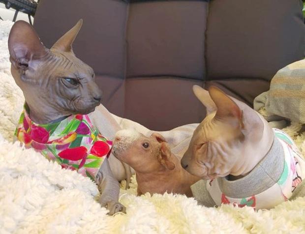 Lớn lên với toàn mèo, chú chuột lang trọc lông còn không biết mình là chuột đang khiến cộng đồng mạng phát sốt vì quá dễ thương - Ảnh 2.