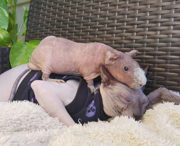 Lớn lên với toàn mèo, chú chuột lang trọc lông còn không biết mình là chuột đang khiến cộng đồng mạng phát sốt vì quá dễ thương - Ảnh 5.