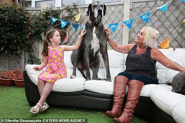 Chú chó cao nhất thế giới vừa ẵm nốt kỷ lục Guinness là giống Great Dane lớn tuổi nhất hành tinh ngay dịp sinh nhật - Ảnh 6.