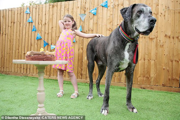 Chú chó cao nhất thế giới vừa ẵm nốt kỷ lục Guinness là giống Great Dane lớn tuổi nhất hành tinh ngay dịp sinh nhật - Ảnh 1.