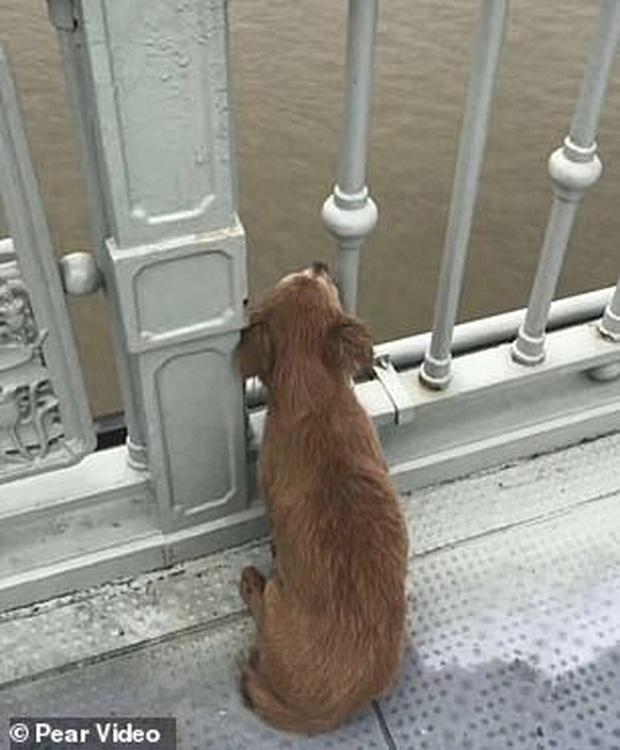 Chứng kiến chủ nhảy xuống sông tự sát, chú chó trung thành buồn bã ngồi trên cầu khóc thương mà không hề ăn uống chút nào - Ảnh 1.