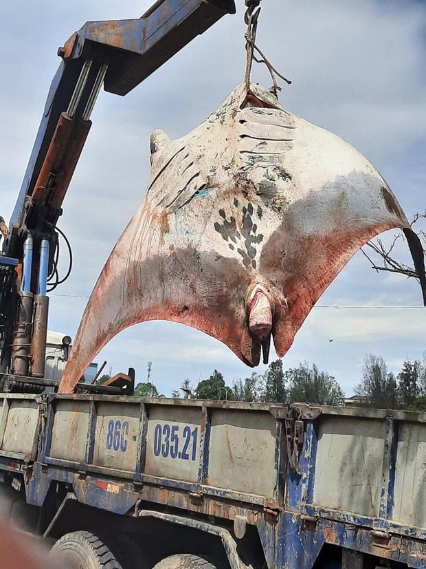Ngư dân Bình Thuận bắt được cá đuối khổng lồ gần 1.000kg  - Ảnh 1.