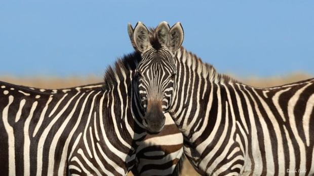 Rốt cuộc cái đầu kia là của con ngựa vằn bên phải hay bên trái? Hình ảnh gây lú khiến MXH hoang mang nhất hôm nay - Ảnh 1.