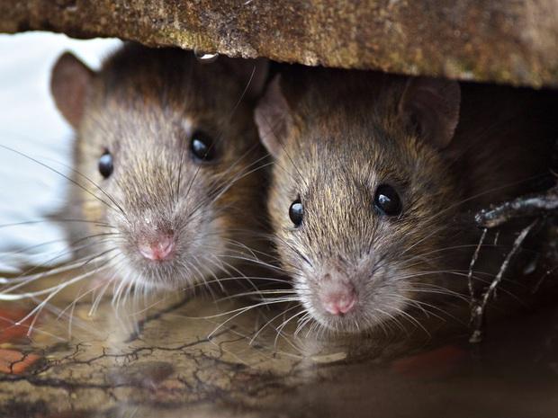 Sự trỗi dậy của loài chuột cống: Thực khách ăn uống ở vỉa hè New York liên tục bị chuột quấy rối và trấn lột thức ăn - Ảnh 2.