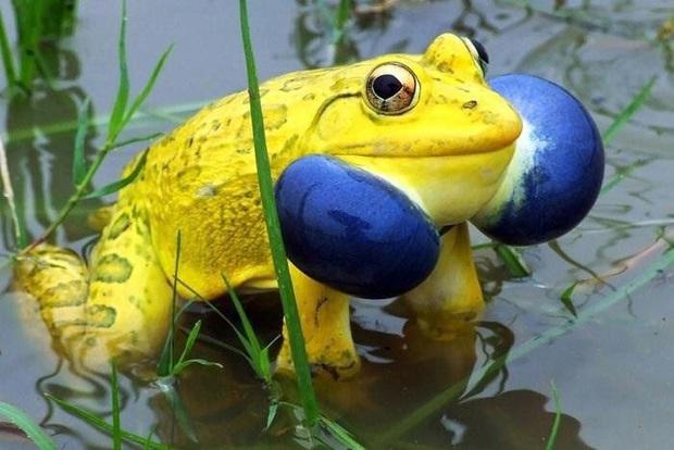 Cánh đồng ở Ấn Độ bỗng xuất hiện đàn ếch màu vàng chóe kỳ dị mọc lên ồ ạt như nấm sau mưa - Ảnh 3.
