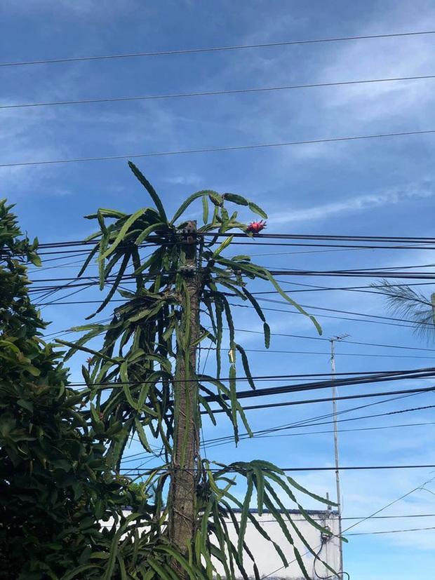 Trồng phải cây thanh long kiêu kỳ chỉ đậu có một quả ở vị trí hiểm hóc, chủ nhà đành đứng nhìn ngậm ngùi từ phía xa - Ảnh 2.
