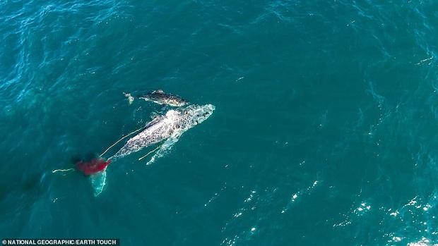 Lần đầu tiên trong lịch sử ghi lại cảnh cá mập trắng khổng lồ hạ gục cá voi: Cách thức ra tay tàn nhẫn đến không ngờ - Ảnh 2.