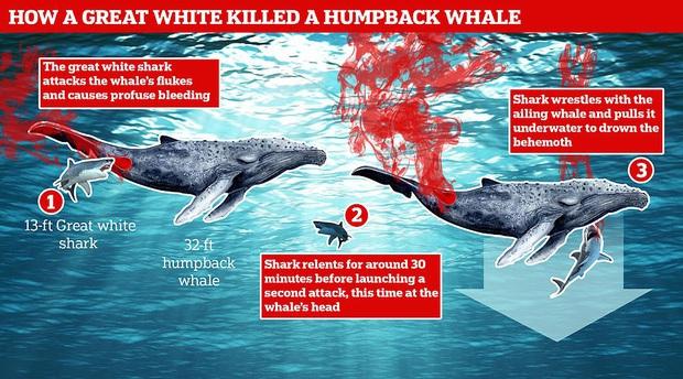 Lần đầu tiên trong lịch sử ghi lại cảnh cá mập trắng khổng lồ hạ gục cá voi: Cách thức ra tay tàn nhẫn đến không ngờ - Ảnh 3.