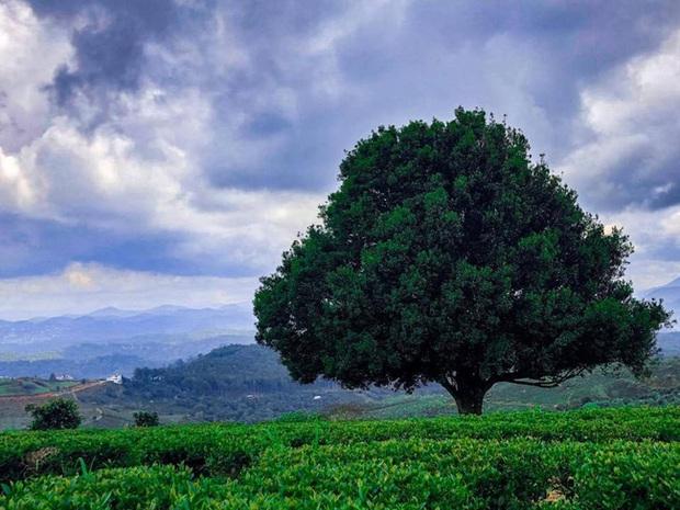 Dân tình đổ xô check-in cây thông mập ú nhất Đà Lạt, chơi vơi giữa mây trời thơ mộng biết bao, nghe đồn khi đi lẻ bóng khi về có đôi! - Ảnh 7.