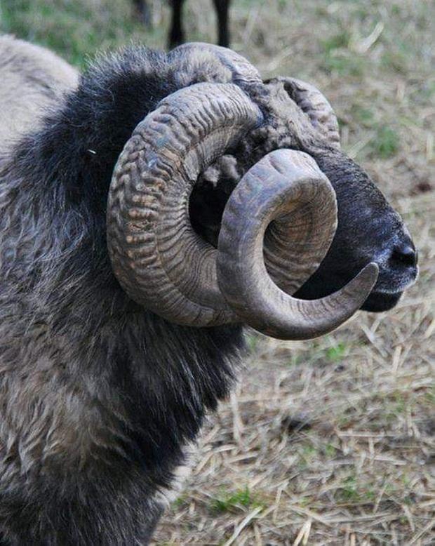 Những cặp sừng động vật nhìn còn buồn hơn bị tiểu tam cắm lên đầu  - Ảnh 3.