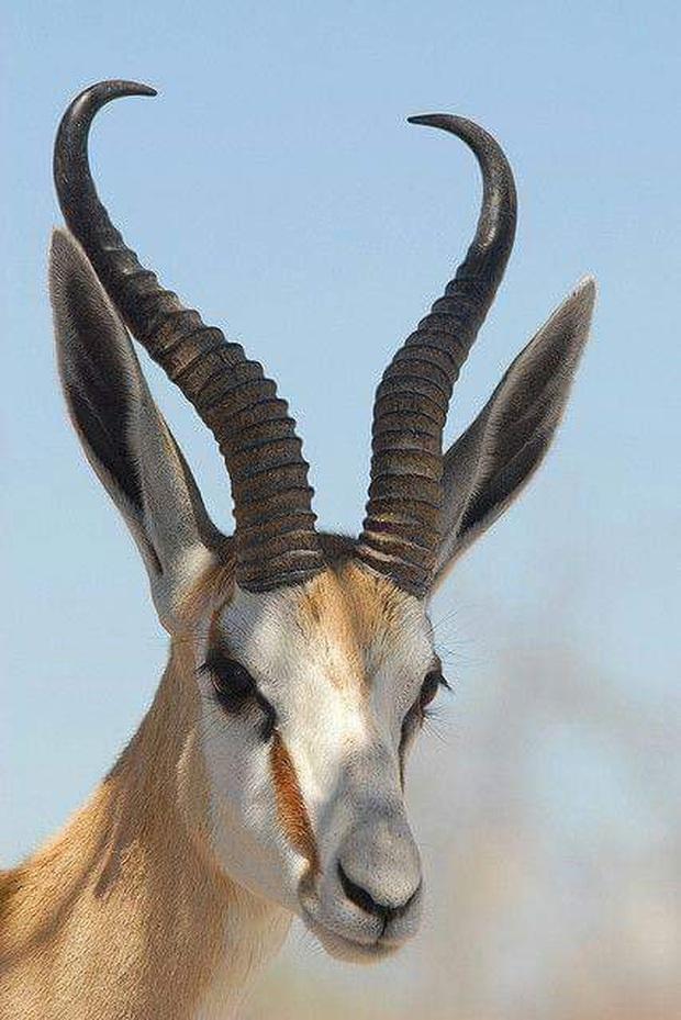 Những cặp sừng động vật nhìn còn buồn hơn bị tiểu tam cắm lên đầu  - Ảnh 5.