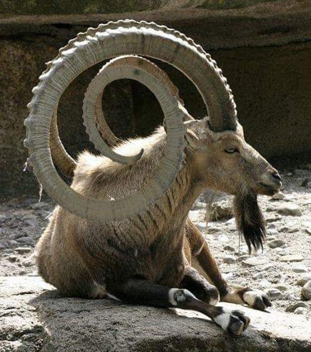 Những cặp sừng động vật nhìn còn buồn hơn bị tiểu tam cắm lên đầu  - Ảnh 10.