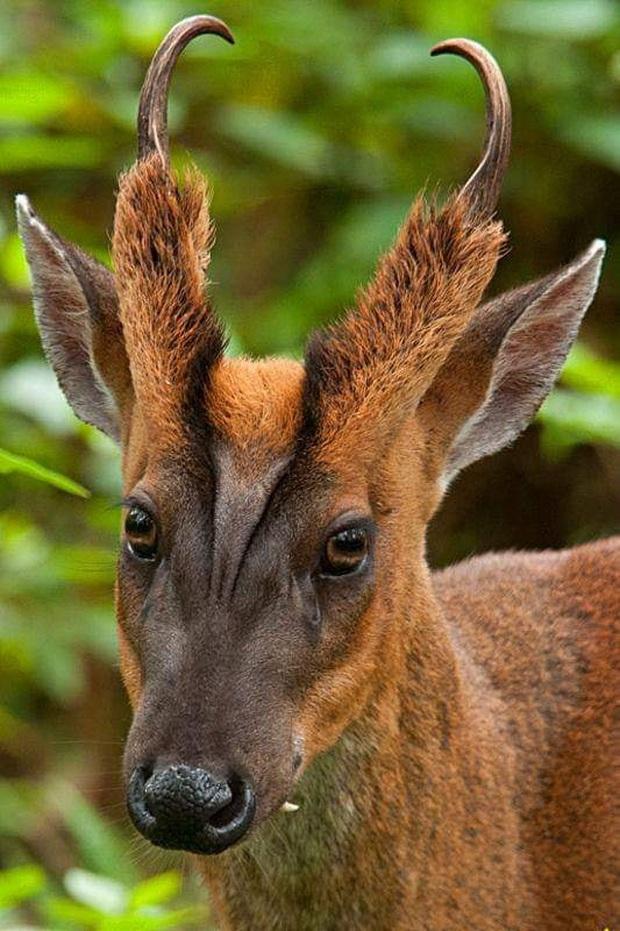 Những cặp sừng động vật nhìn còn buồn hơn bị tiểu tam cắm lên đầu  - Ảnh 14.