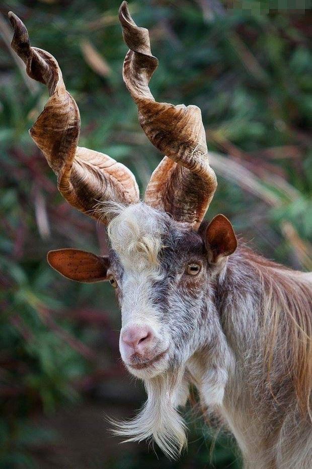 Những cặp sừng động vật nhìn còn buồn hơn bị tiểu tam cắm lên đầu  - Ảnh 20.