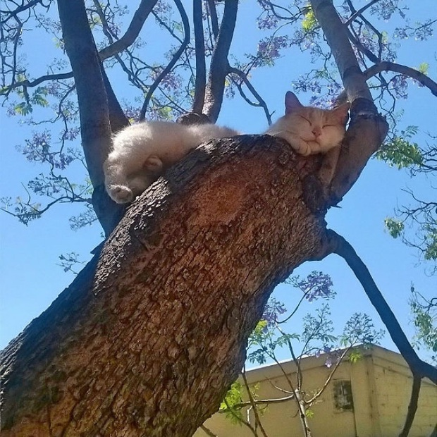 Bộ ảnh chứng minh nếu ngủ trên cây là nghệ thuật, thì bọn mèo là những nghệ sĩ đích thực - Ảnh 1.