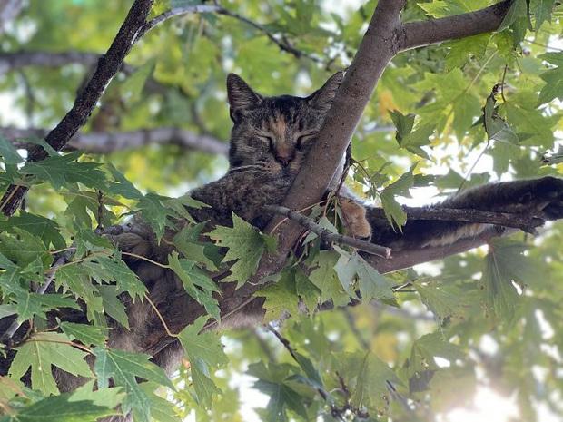 Bộ ảnh chứng minh nếu ngủ trên cây là nghệ thuật, thì bọn mèo là những nghệ sĩ đích thực - Ảnh 3.