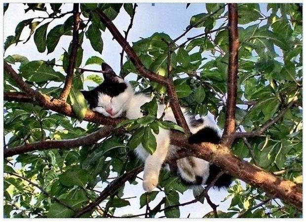 Bộ ảnh chứng minh nếu ngủ trên cây là nghệ thuật, thì bọn mèo là những nghệ sĩ đích thực - Ảnh 6.