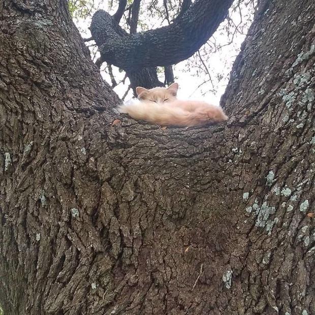 Bộ ảnh chứng minh nếu ngủ trên cây là nghệ thuật, thì bọn mèo là những nghệ sĩ đích thực - Ảnh 10.