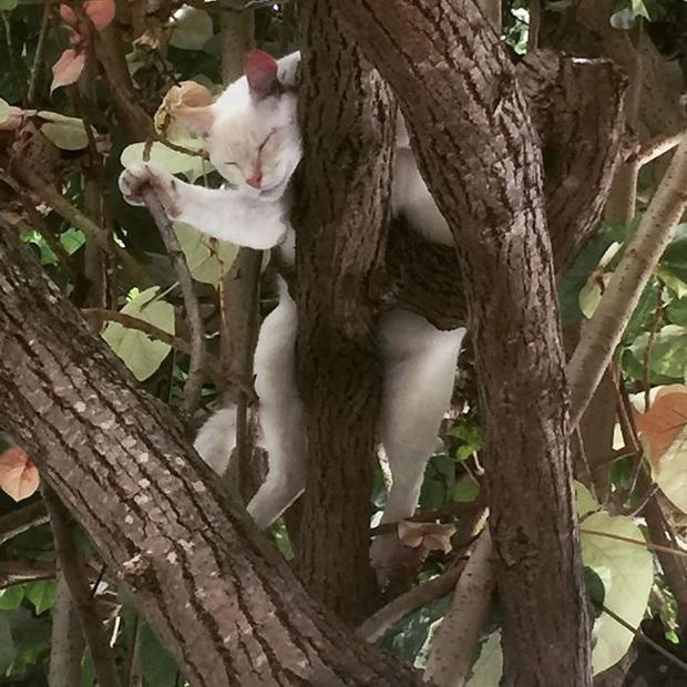 Bộ ảnh chứng minh nếu ngủ trên cây là nghệ thuật, thì bọn mèo là những nghệ sĩ đích thực - Ảnh 13.