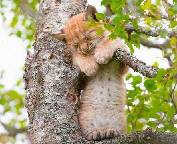 Bộ ảnh chứng minh nếu ngủ trên cây là nghệ thuật, thì bọn mèo là những nghệ sĩ đích thực - Ảnh 17.